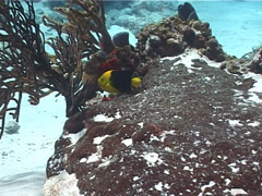 Rock Beauty swimming on shallow coral reef, Holacanthus tricolor, UP2283 Stock Footage