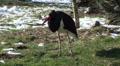 Black Stork in winter HD Footage