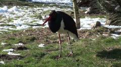 Black Stork in winter Stock Footage