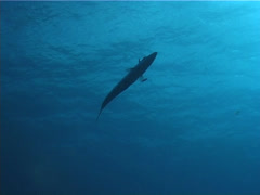 Great barracuda swimming in bluewater, Sphyraena barracuda, UP2299 Stock Footage