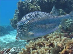 Honeycomb cowfish swimming, Acanthostracion polygonia, UP2311 - stock footage