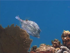 Honeycomb cowfish feeding, Acanthostracion polygonia, UP2313 - stock footage