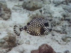 Smooth trunkfish swimming, Rhinesomus triqueter, UP2321 Stock Footage