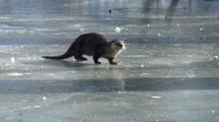 Eurpean Otter on Ice Stock Footage