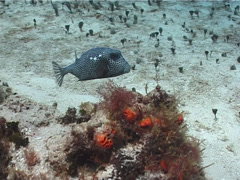 Spotted trunkfish swimming, Lactophrys bicaudalis, UP2337 Stock Footage