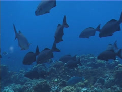 Bermuda chub swimming and schooling on shallow coral reef, Kyphosus saltatrix, Stock Footage