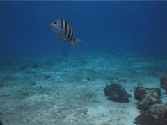 Sergeant major swimming, Abudefduf saxatilis, UP2401 Stock Footage