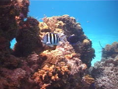 Sergeant major swimming on shallow coral reef, Abudefduf saxatilis, UP2403 Stock Footage