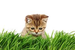 Kissa takana ruoho Kuvituskuvat