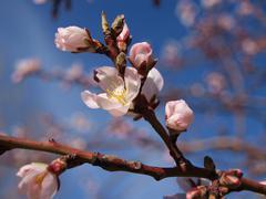 prunus dulcis - stock photo