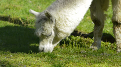 Close up alpaca eating grass Stock Footage