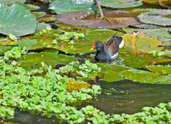 Common Moorhen looking for food in lake water Stock Photos