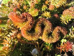 Succulent plant (stonecrop or sedum) Stock Photos