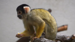 Squirrel monkey on white background Stock Footage