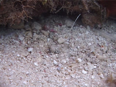 Juvenile Drum swimming, Equetus sp. Video 2437. Stock Footage