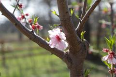 Almond Tree Blossom - stock photo