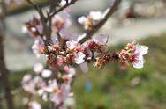 Stock Photo of Almond Tree Blossom