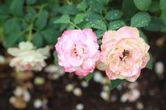 Dewy Roses Stock Photos