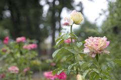 Dewy Roses - stock photo