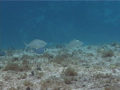 Caribbean pursemouth swimming, Gerres sp. Video 2439. Stock Footage