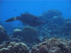 Scrawled filefish swimming, Aluterus scriptus, UP2447 Stock Footage