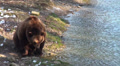 Brown Bear searching food Footage