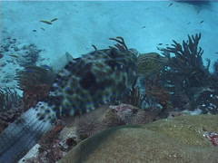 Scrawled filefish feeding, Aluterus scriptus, UP2450 Stock Footage