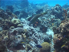 Scrawled filefish swimming on shallow coral reef, Aluterus scriptus, UP2451 Stock Footage