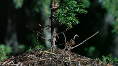Anthill built around a birch tree Stock Footage