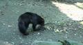 Wolverine taking a dead rat HD Footage