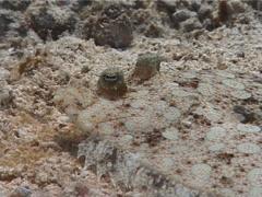 Eyed flounder looking around, Bothus ocellatus, UP2470 Stock Footage