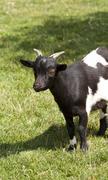 Alpine goat Stock Photos