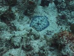 Peacock flounder swimming, Bothus lunatus, UP2472 Stock Footage