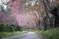 Footpath with cherry blossom flower Stock Photos