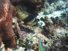 Barred hamlet swimming, Hypoplectrus puella, UP2489 - stock footage
