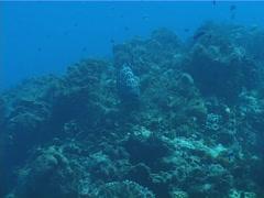 Black grouper swimming on deep coral reef, Mycteroperca bonaci, UP2494 Stock Footage