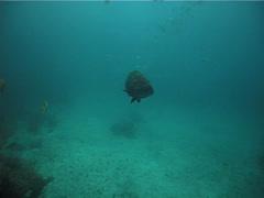 Black grouper swimming on deep coral reef, Mycteroperca bonaci, UP2496 Stock Footage