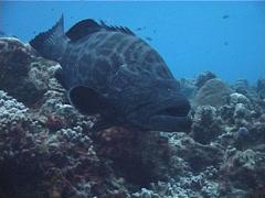 Black grouper hovering, Mycteroperca bonaci, UP2500 Stock Footage