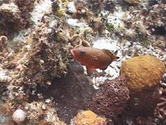 Red hind swimming, Epinephelus guttatus, UP2519 Stock Footage