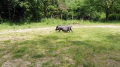Pot-Bellied Pig Pregnant Female Stock Footage
