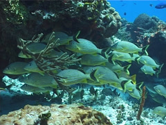 Bluestriped grunt schooling and schooling on shallow coral reef, Haemulon Stock Footage