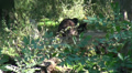 Bear going away in wild forest landscape HD Footage