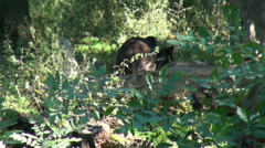 Bear going away in wild forest landscape Stock Footage
