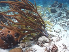 French grunt schooling and schooling on shallow coral reef, Haemulon Stock Footage