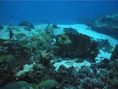 French grunt schooling and schooling on deep coral reef, Haemulon flavolineatum, Stock Footage