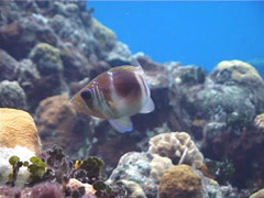 Barred hamlet swimming, Hypoplectrus puella, UP2573 Stock Footage