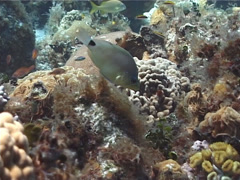 Butter hamlet swimming, Hypoplectrus unicolor, UP2580 Stock Footage