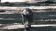 Stock Video Footage of Boar walking straight to camera