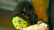 Stock Video Footage of Blue winged macaw chewing the claw of another macaw