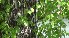 The trunk of birch trees and leaves Stock Footage